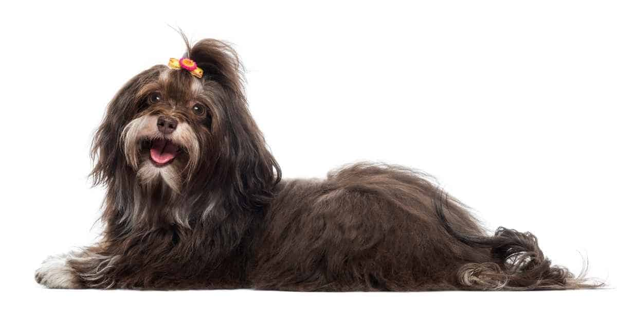 can havanese be aggressive